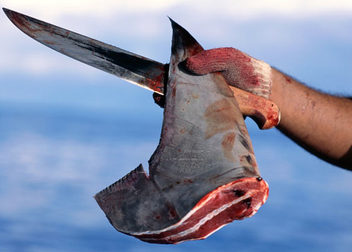 shark finning in costa rica