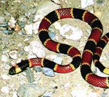 Coral Snake of Costa Rica