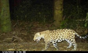 Jaguar caught by camera trap on the Osa, image by Yaguara.org