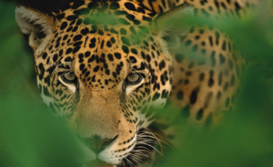 Jaguar on the Osa Peninsula, image by Valle Dorado Tours