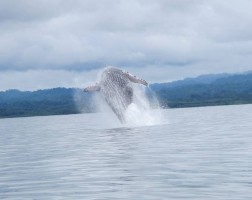 Humpback Whale mother breaching in Golfo Dulce