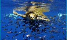 Sea turtle off Costa Rica's southern Pacific Coast