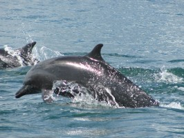 Dolphins at Nicuesa Lodge, Golfo Dulce