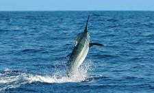 Quepos marlin sportfishing