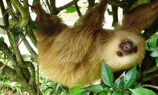 famous Costa Rican sloths