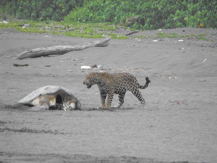 Tortuguero Park Partially Closed Due To Jaguar Presence On Beach Costa Rica Star News